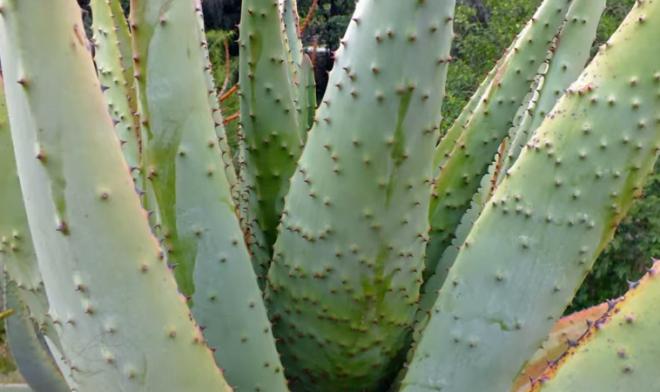 Aloe ferox, frunzele sunt groase, suculente și au numeroși țepi