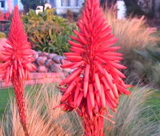 Aloe ferox, inflorescența