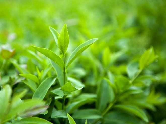 Ceaiul verde, specia Camellia Sinensis, Foto: flu-monitor.com