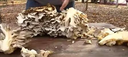 Ciuperci Maitake