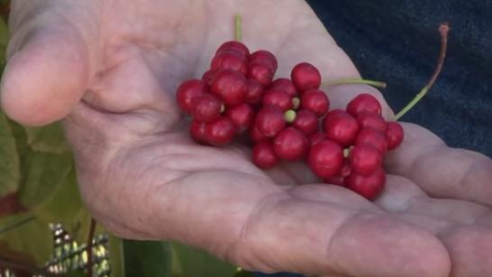 Fructele de Schizandra