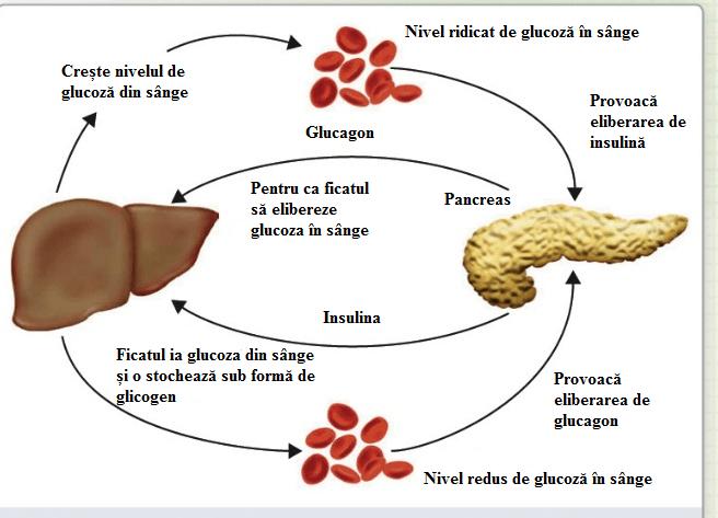 Glucagonul, controlul nivelului de glucoză din sânge, Foto: biology-igcse.weebly.com