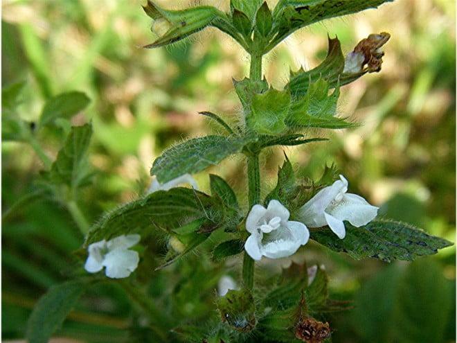 Melissa officinalis, Foto: naturespot.org.uk