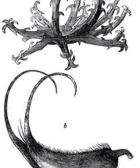 Numele de gheara- diavolului vine de la spinii încovoiați ai fructului