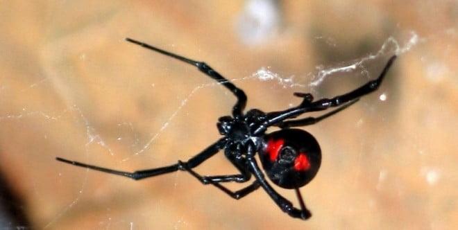 Păianjenul văduva neagră, Foto: mezinebemazemi.blogspot.com