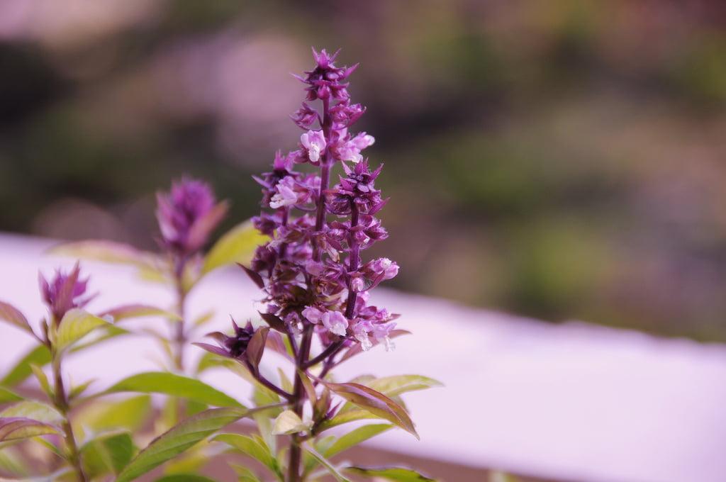5-planta-tulsi-floarea-planta-sfantul-vasile